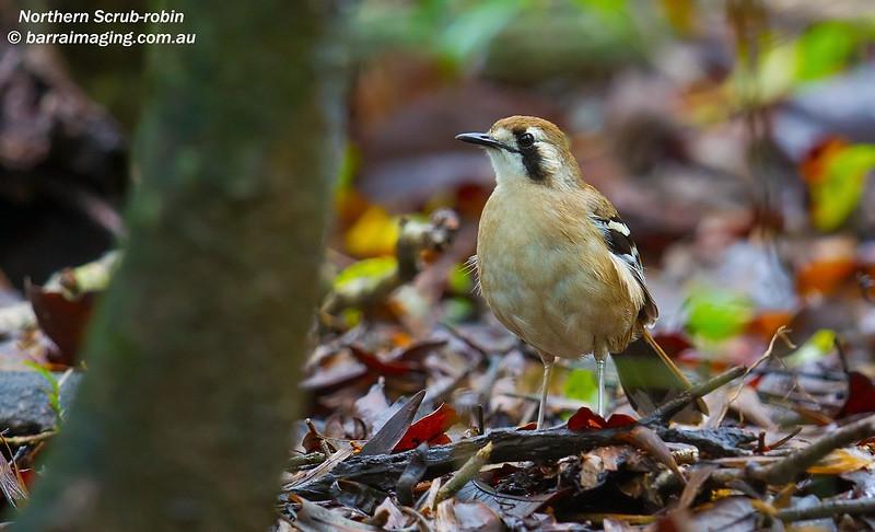 Northern Scrub-robin