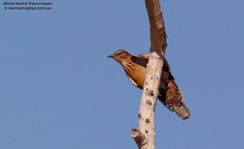 Black-tailed Treecreeper female