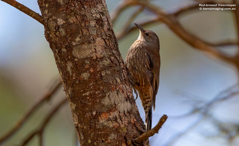 Red-browed Treecreeper female