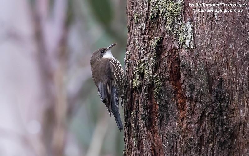 White-Throated Treecreeper male