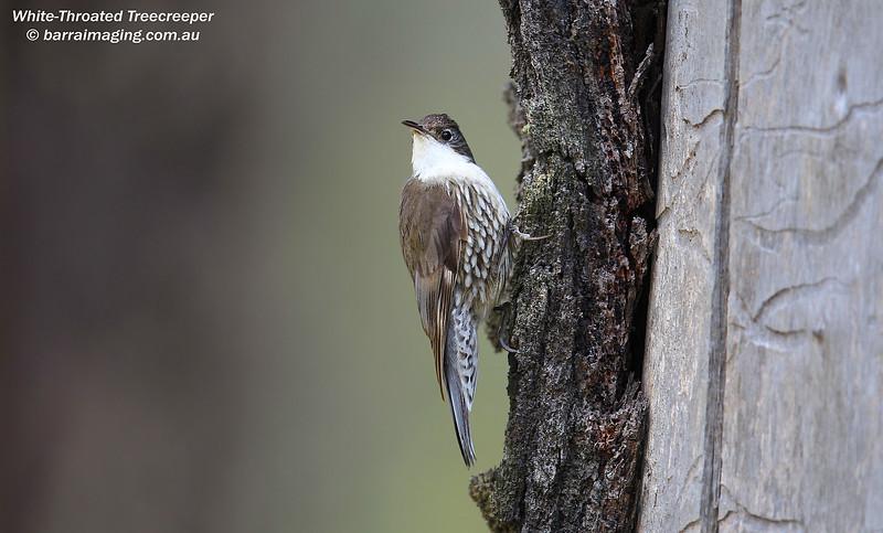 White-Throated Treecreeper female