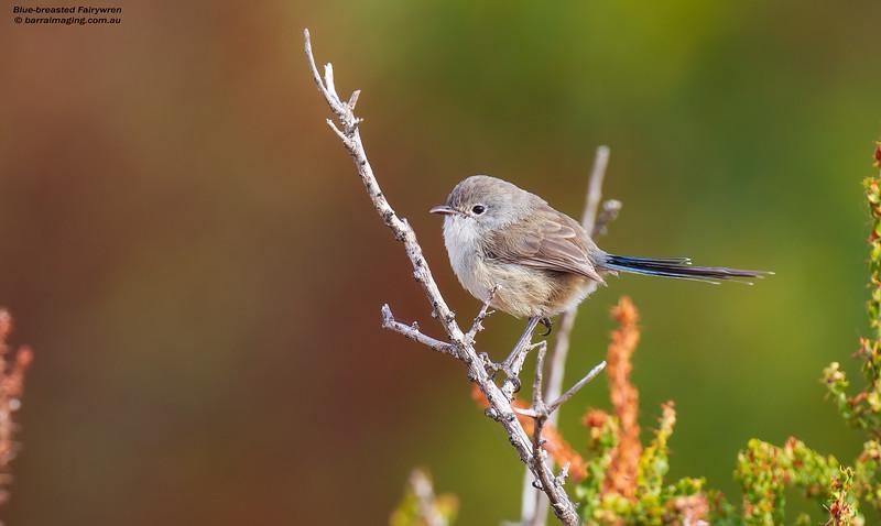 Blue-breasted Fairywren, male, non breeding plumage