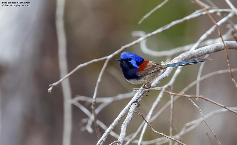 Blue-breasted Fairywren male