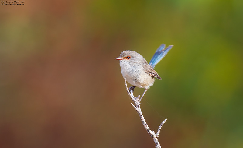 Blue-breasted Fairywren female