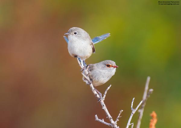 Blue-breasted Fairywren male and female