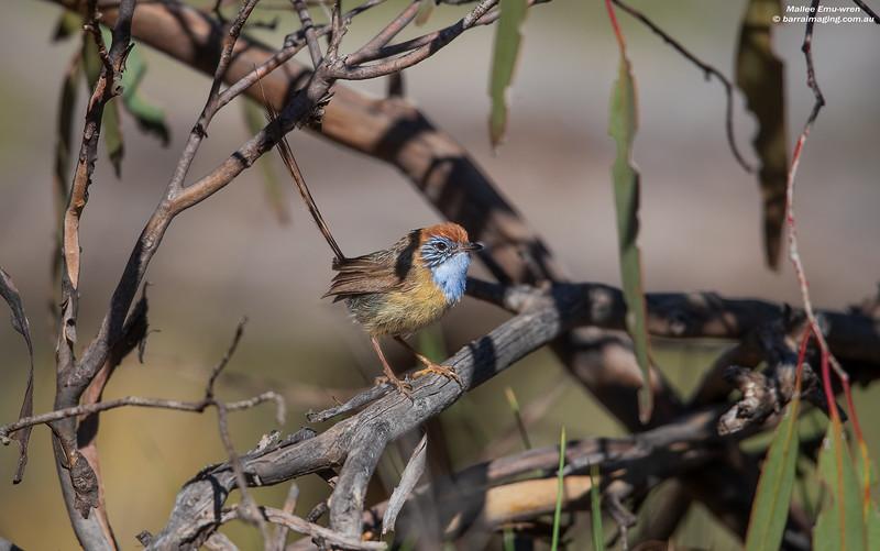 Mallee Emu-wren male