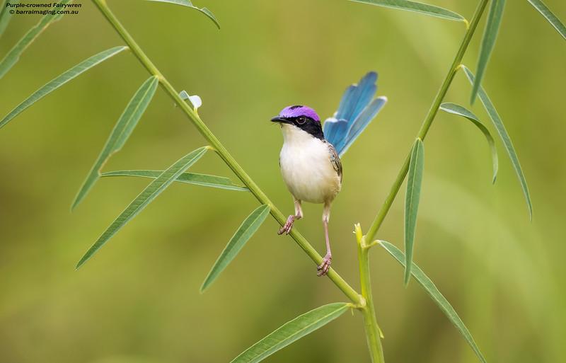 Purple-crowned Fairywren male