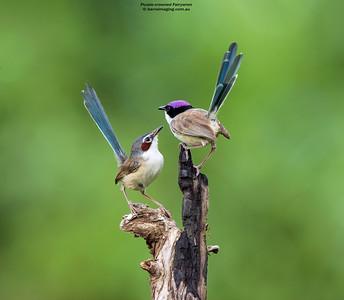 Purple-crowned Fairywren female and male