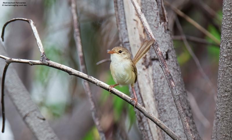 Red-backed Fairywren female
