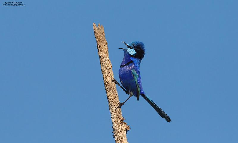 Splendid Fairywren male