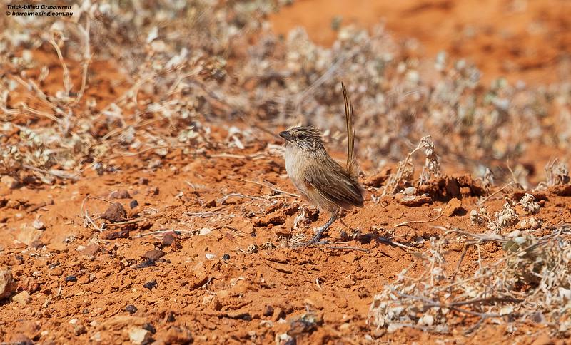 Thick-billed Grasswren female