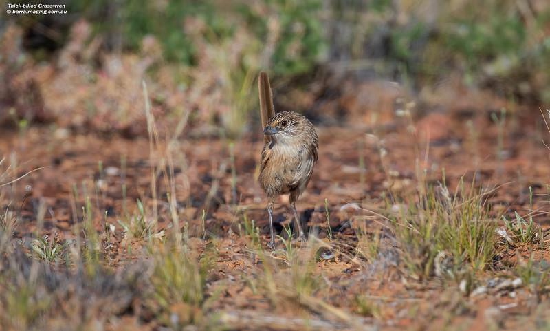 Thick-billed Grasswren male