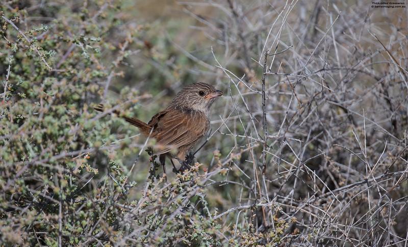 Thick-billed Grasswren juv male
