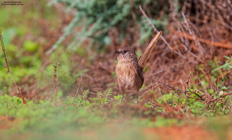 Western Grasswren male