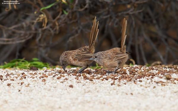 Western Grasswren female and male