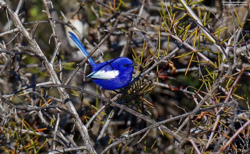 White-winged Fairywren male