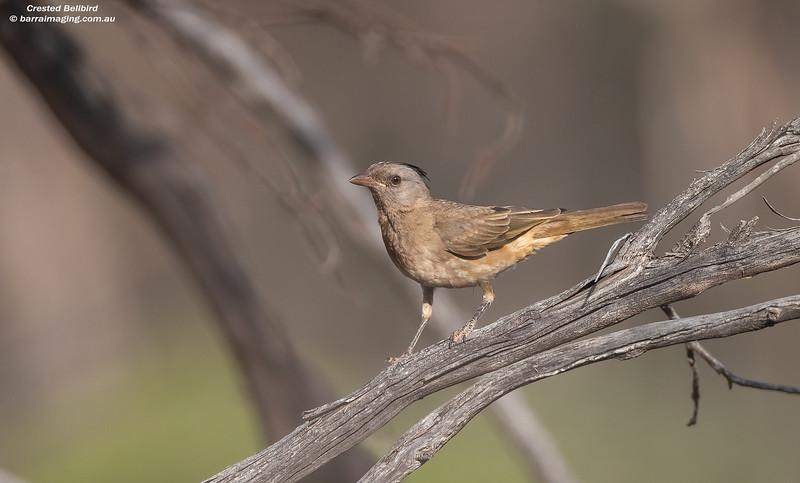Crested Bellbird immature female