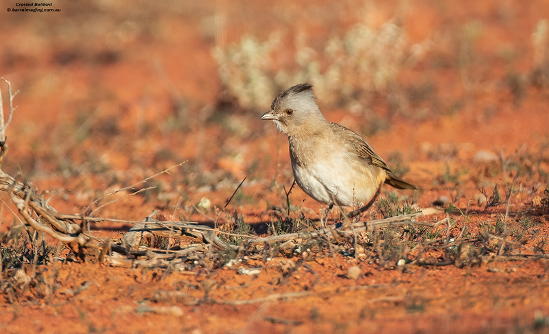 Crested Bellbird female