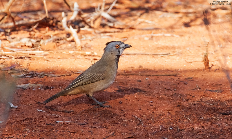 Crested Bellbird male