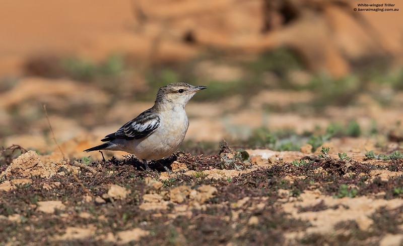 White-winged Triller male non breeding
