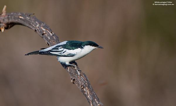 White-winged Triller male breeding