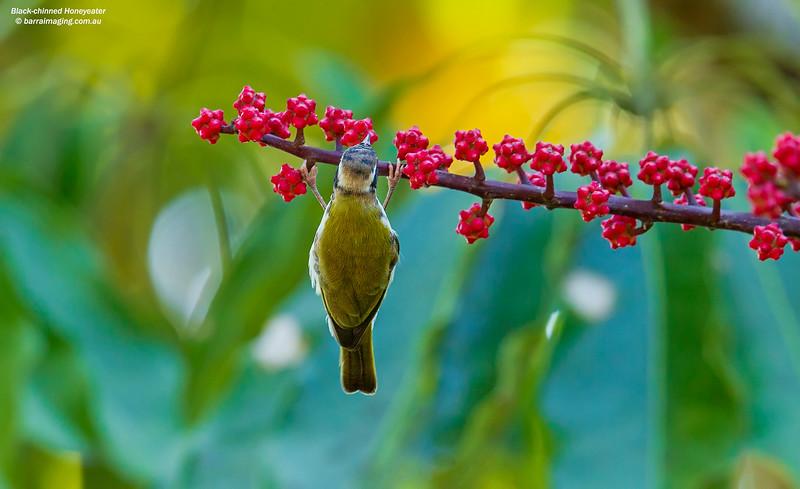 Black-chinned Honeyeater immature