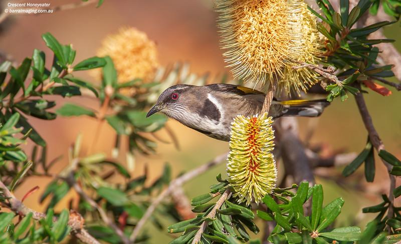 Crescent Honeyeater male