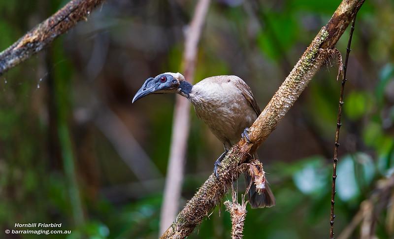 Hornbill Friarbird