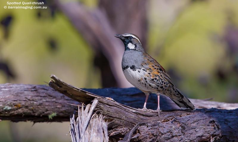 Spotted Quail-thrush male