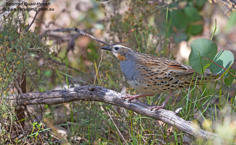 Spotted Quail-thrush female