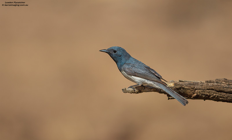 Leaden Flycatcher male