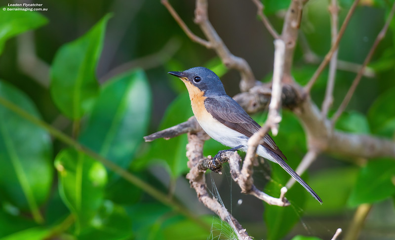 Leaden Flycatcher female