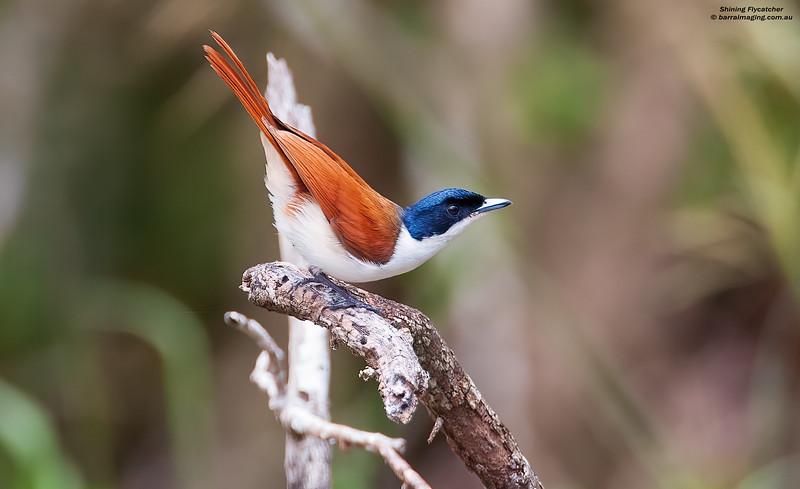 Shining Flycatcher female