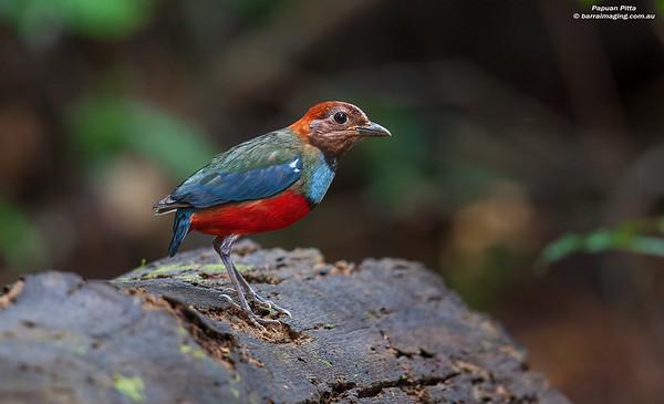 Papuan Pitta