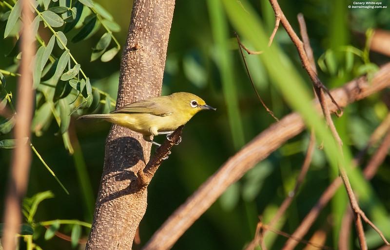 Canary White-eye