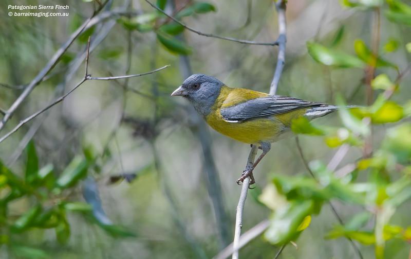 Patagonian Sierra Finch
