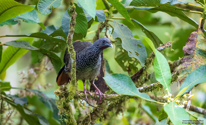 Colombian Chacalaca