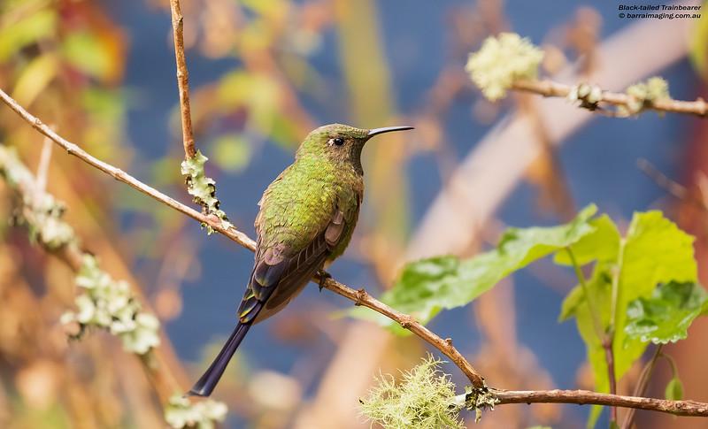 Black-tailed Trainbearer male