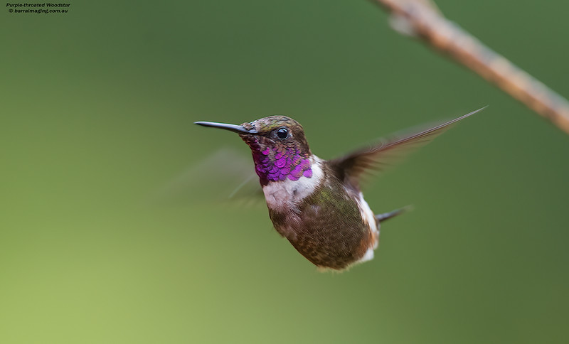 Purple-throated Woodstar male