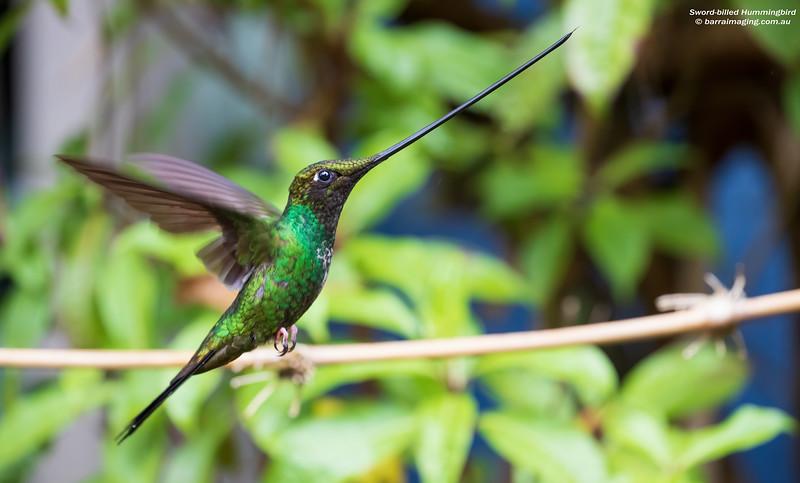 Sword-billed Hummingbird male