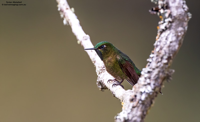 Tyrian Metaltail male