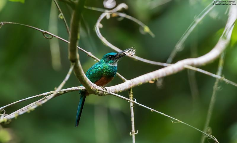 Green-tailed Jacamar
