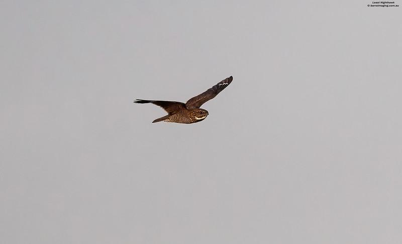 Least Nighthawk