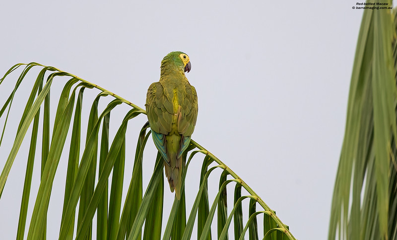 Red-bellied Macaw