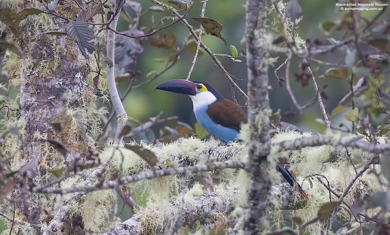 Black-billed Mountain Toucan