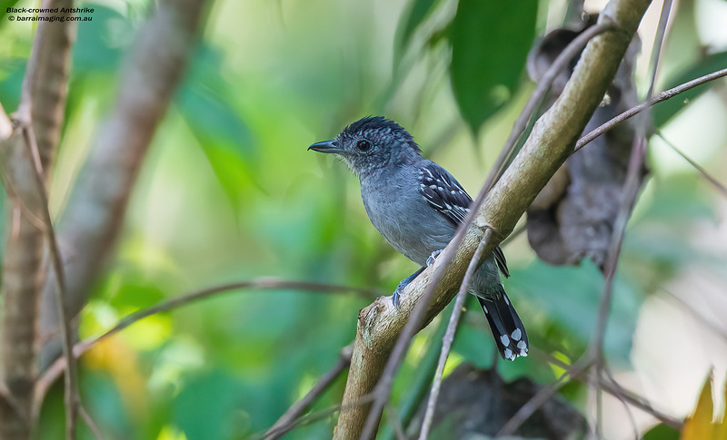 Black-crowned Antshrike male