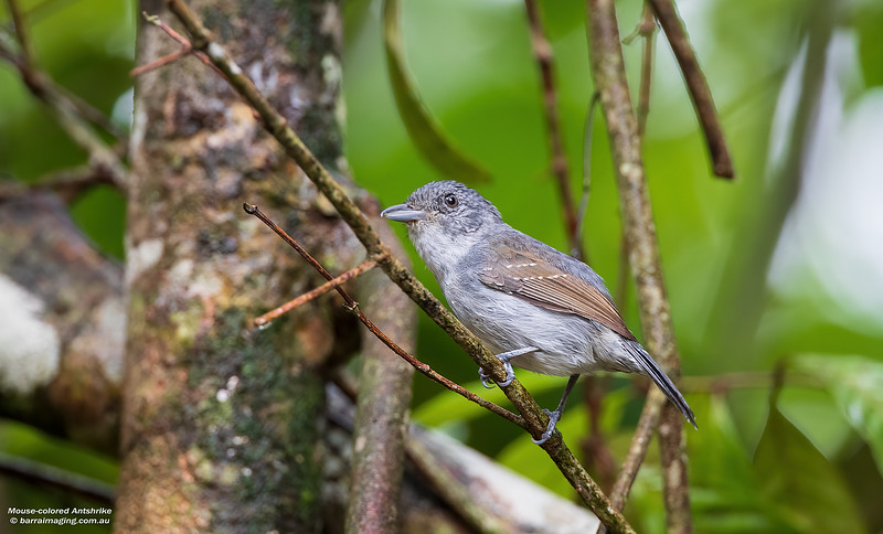 Mouse-colored Antshrike female