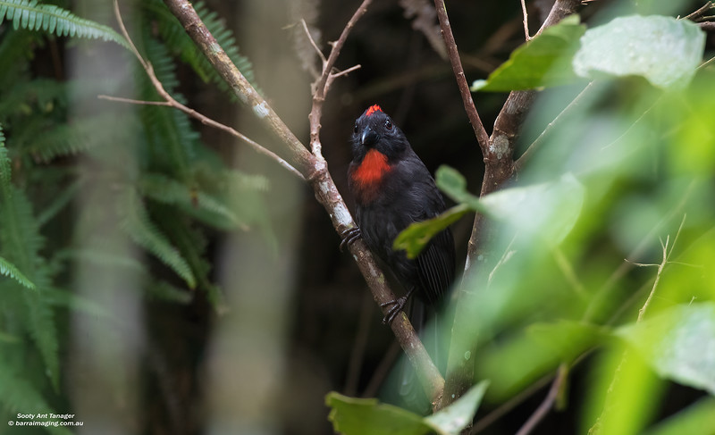 Sooty Ant Tanager male
