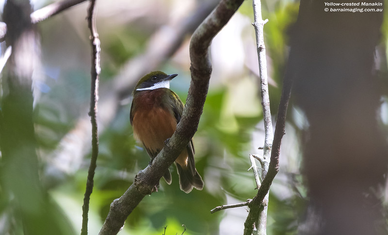 Yellow-crested Manakin male