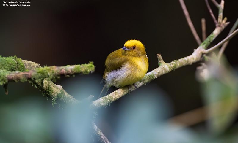 Yellow-headed Manakin male